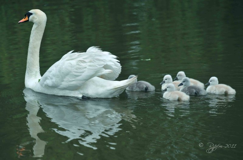 Swan and Cygnet le Petre Fr