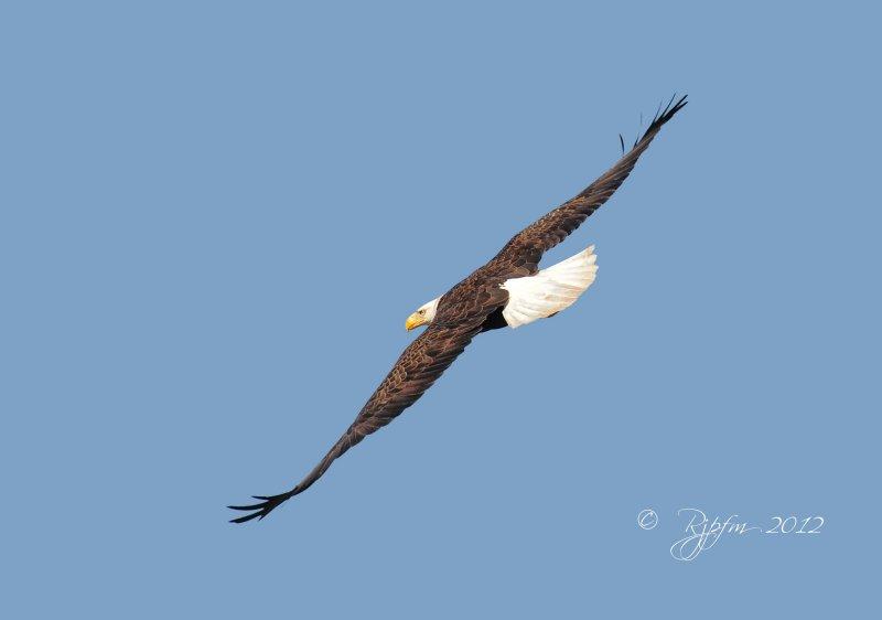 Bald  Eagle  Mason Neck SP , Va