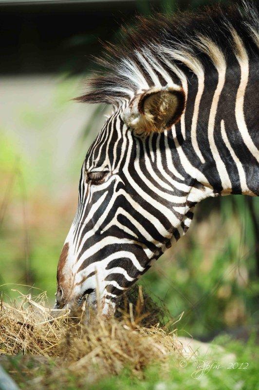 Zebra  Washington DC National Zoo 2012