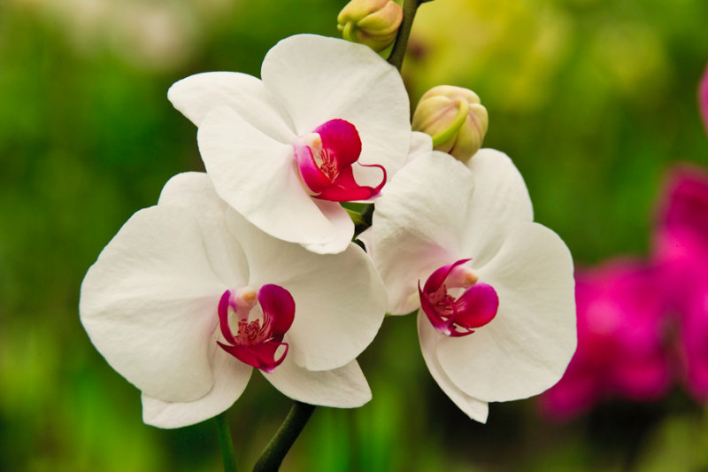 Orchid 18242