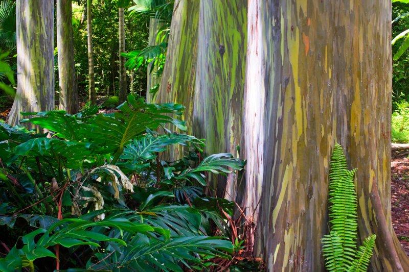 Painted Eucalyptus 29708