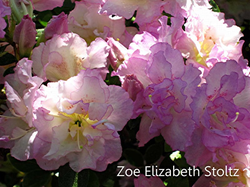 Zoe Elizabeth Stoltz
