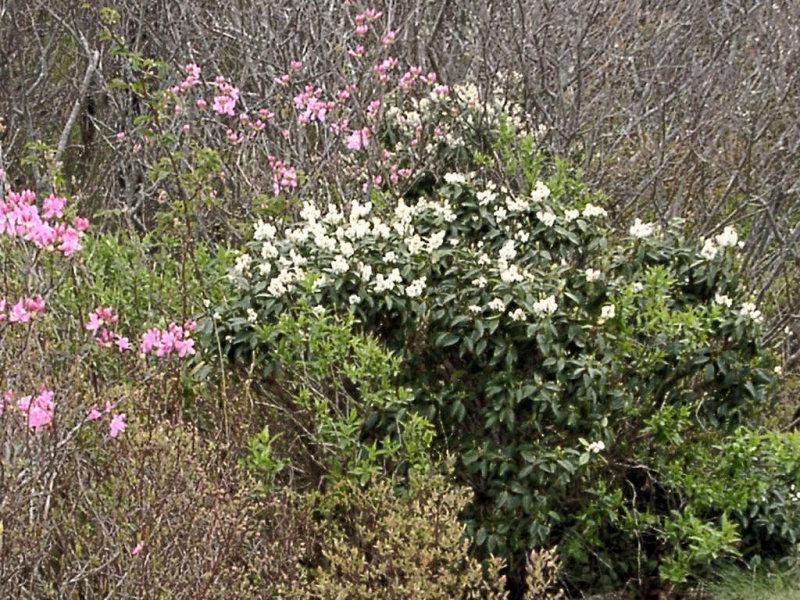 <i>Rhododendron vaseyi, Pieris floribunda</i>
