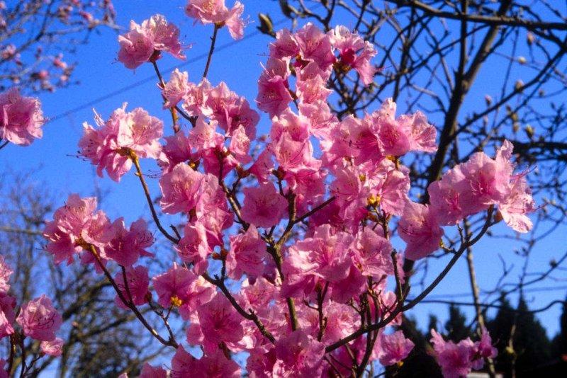 <i>mucronulatum</i> Cornell Pink