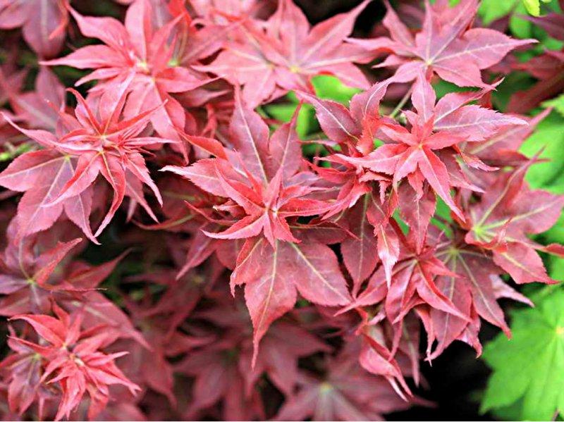 Acer palmatum Beni hoshi