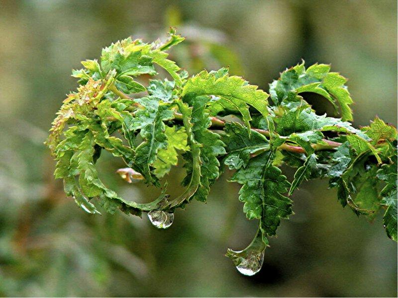 Acer palmatum Krazy Krinkle
