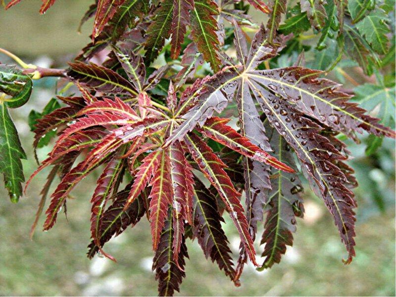 Acer palmatum Orion