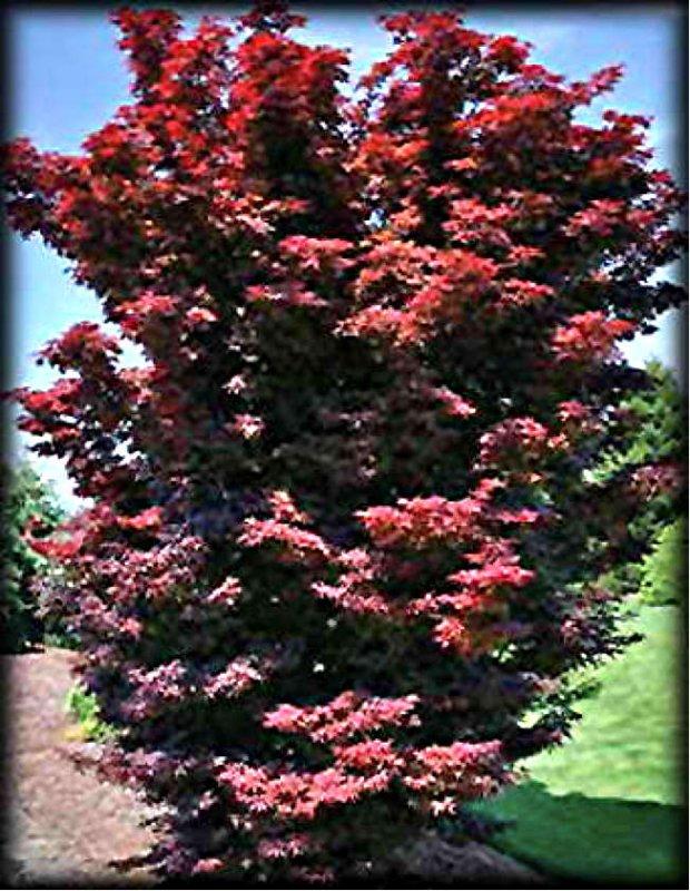 Acer palmatum Twombleys Red Sentinel