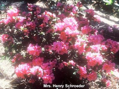 Mrs Henry Schroeder