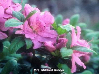 Mrs Mildred Kinder