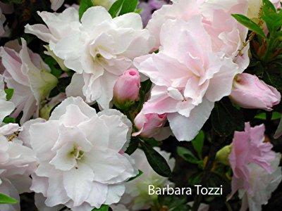 Barbara Tozzi