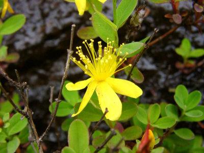 <i>Hypericum buckleyi</i>