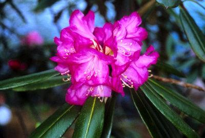 <i>degronianum</i> ssp. <i>heptamerum</i>