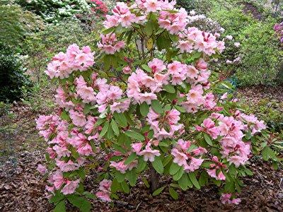 <i>vernicosum</i> Kulu