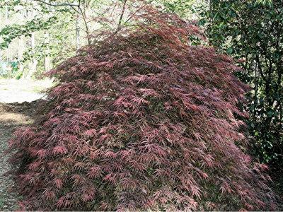 Acer palmatum Tamukeyama