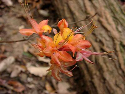unknown fall-bloomer