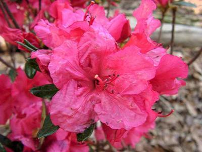 Girards Rose