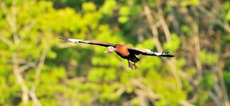 APR_2028 Black Bellied Whistler in flight