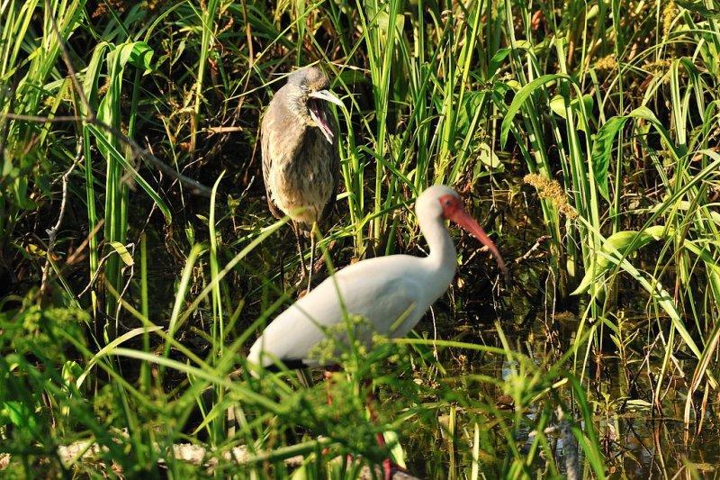 APR_2067 SCRAM! Juvenile Night Heron and Ibis