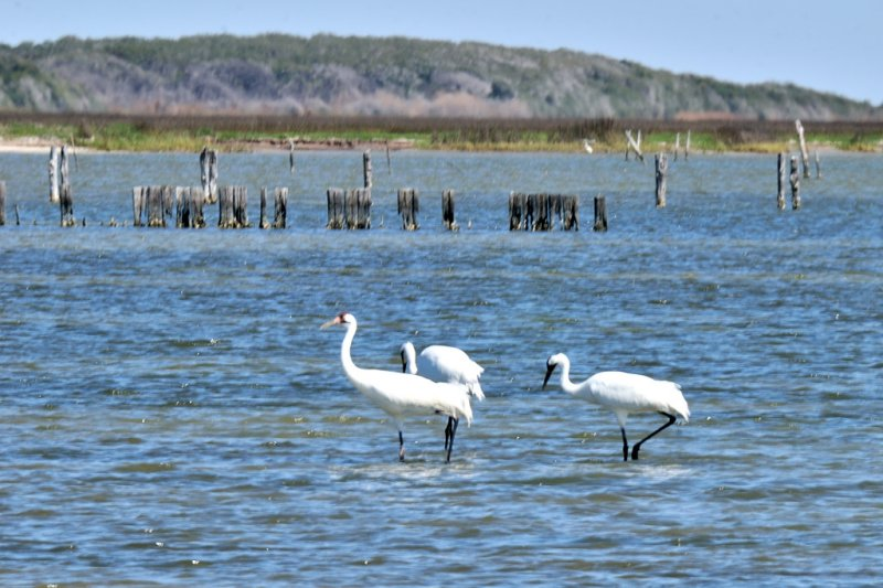 MAR_1072 Whooping Cranes: Rockport, Texas