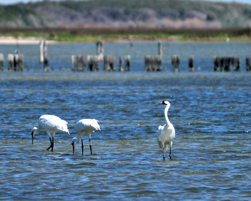 MAR_1078 Whooping Cranes: Rockport, Texas