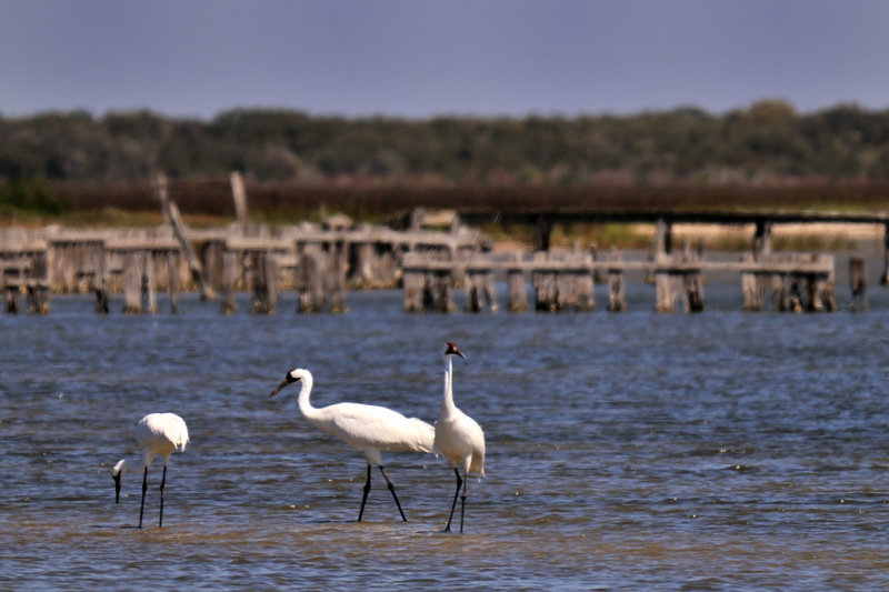 MAR_1086 Whooping Cranes: Rockport, Texas