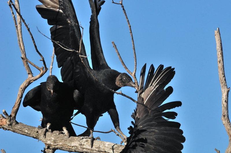 ANWR-0627 Feuding Turkey Vultures