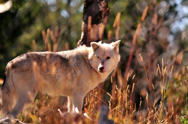 YS1_8762 Captive Gray Wold: W. Yellowstone