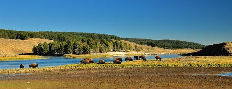 YS1_8859 Bison: Yellowstone