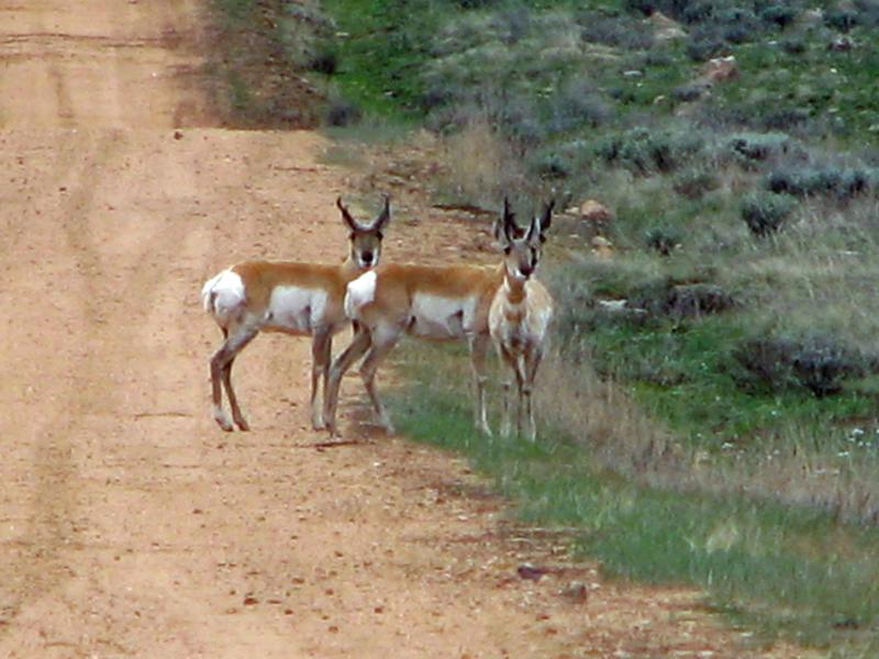 Antelopes in the Road
