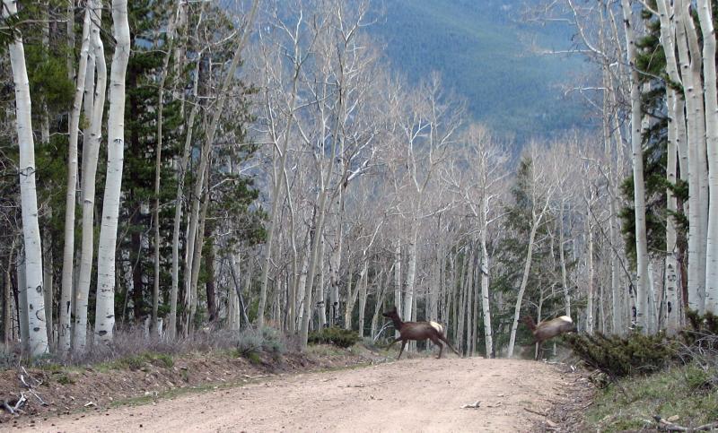 Crossing Elk 0300