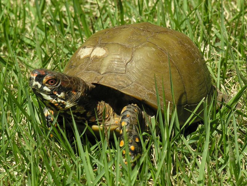 Box Turtle 2