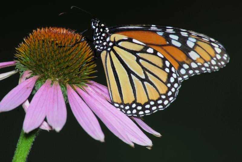 Monarch female 2