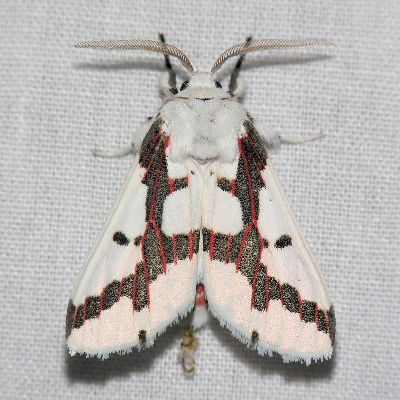 8141 Red-tailed Specter - Euerythra phasma