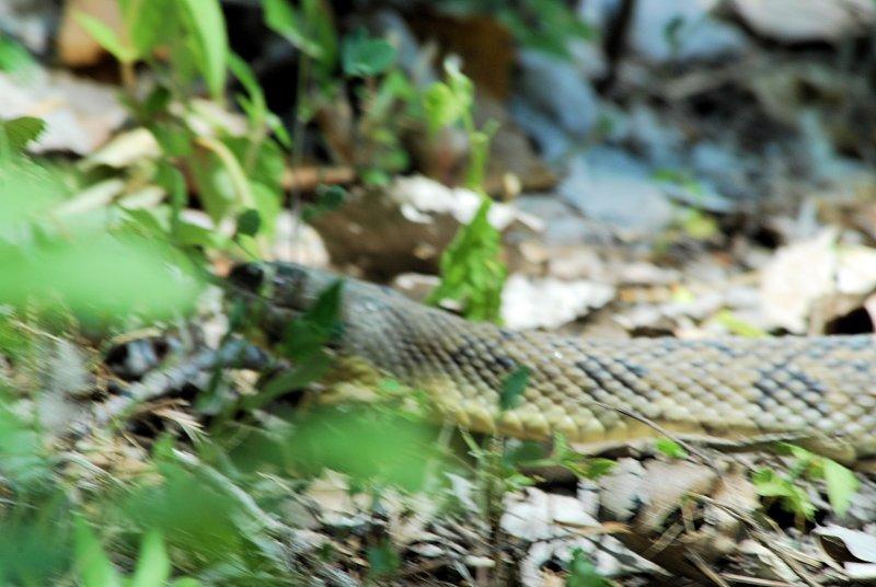 Bull Snake ??