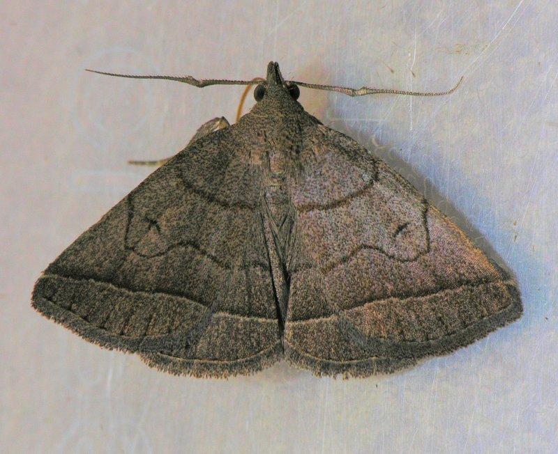 8348 Grayish Zanclognatha - Zanclognatha pedipilalis
