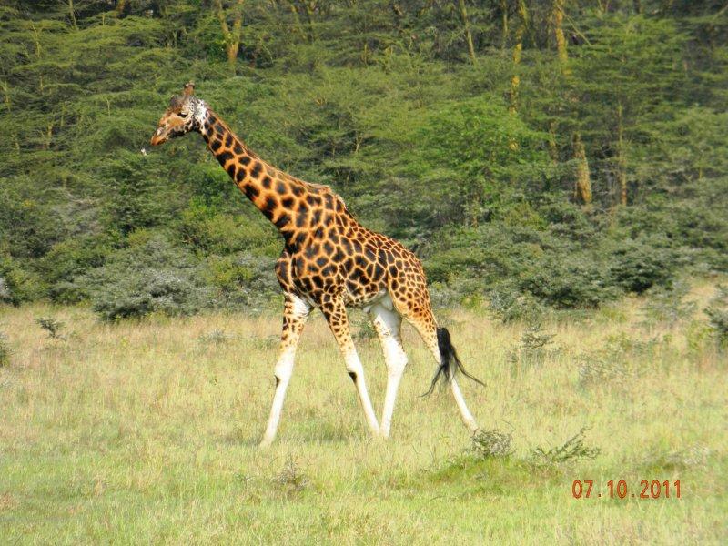 Melanistic Rothschild Giraffe