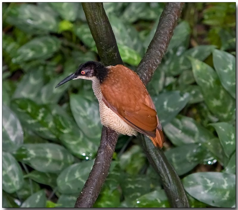 12-wired Bird of Paradise - female