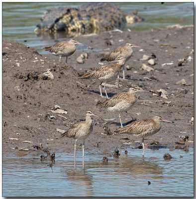 Whimbrels + Estuarine Crocodile