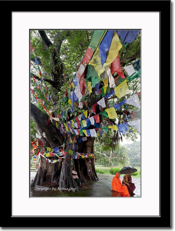 Bodhi Tree in Lumbini