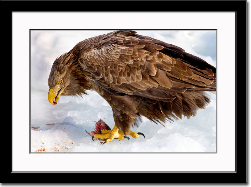 Portrait of a White-Tailed Eagle