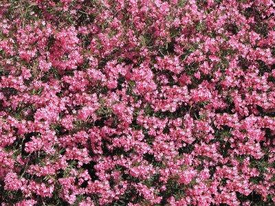 1570 Oleander.jpg