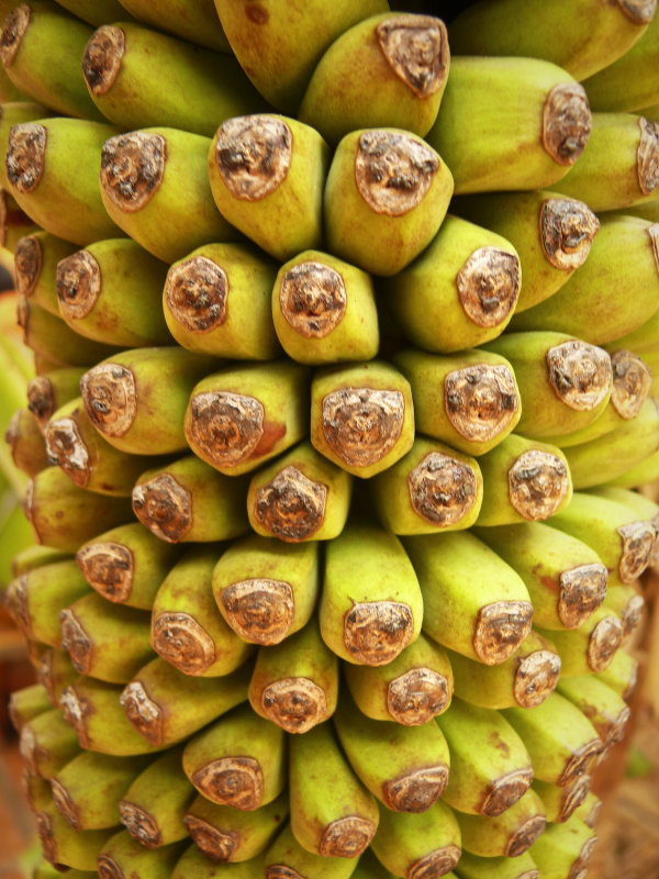 Bananas 1.jpg