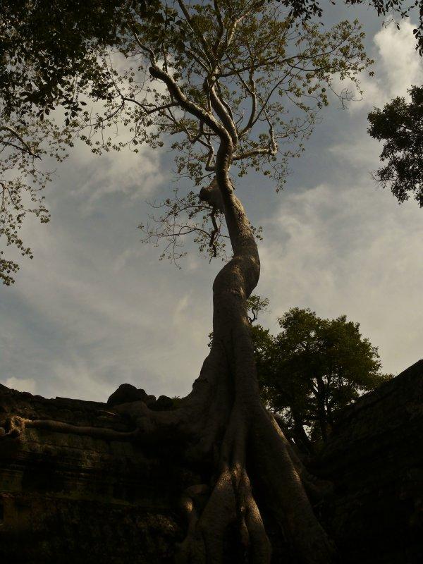 Ta Prohm tree.jpg
