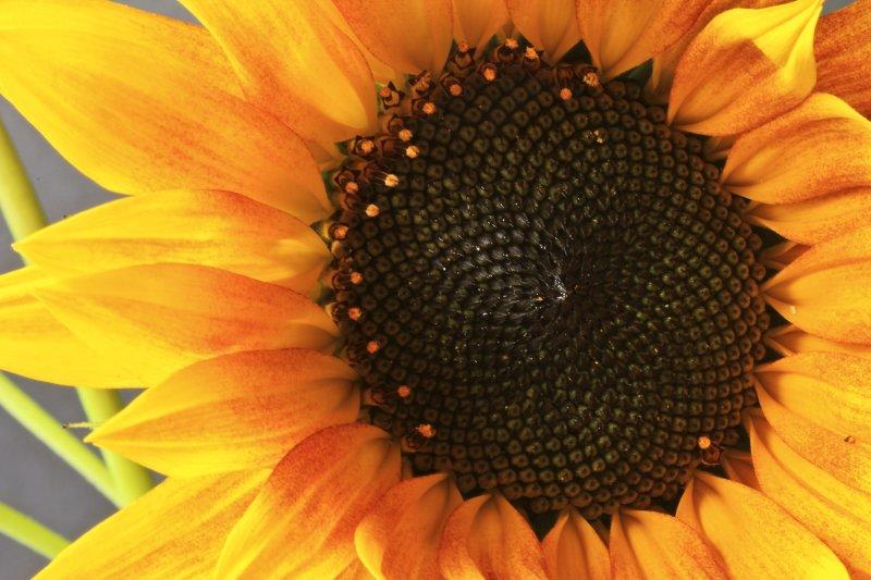 Sunflower 02 web.jpg