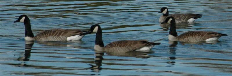Cackling Goose/Lesser Canada Geese