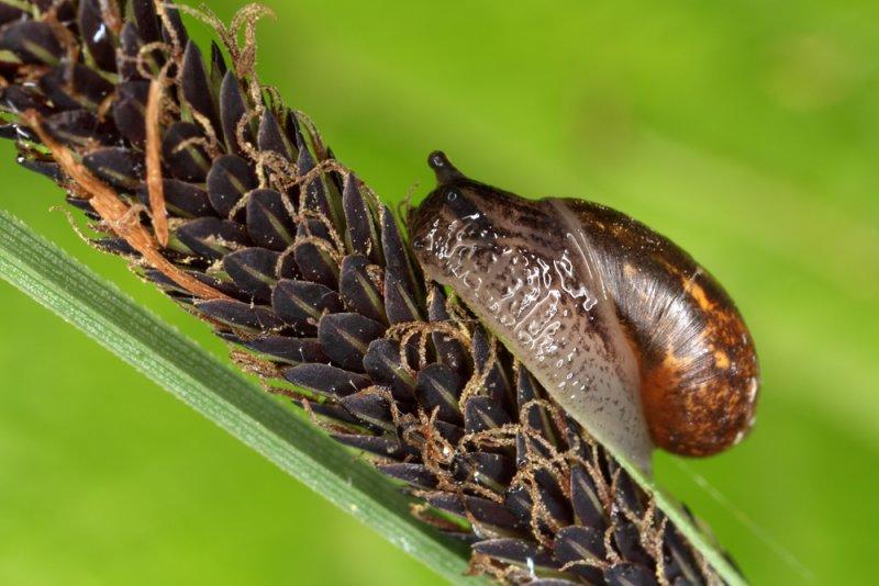 Lymnaea - swamp snail - moèvirski pol¾ (IMG_8735m.jpg)