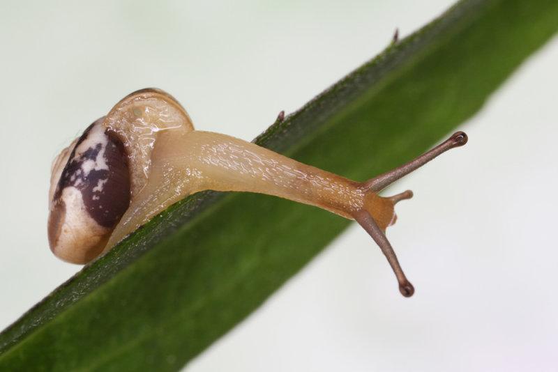snail - polž (IMG_5847lm.jpg)