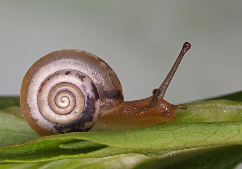 snail - polž (IMG_5850m.jpg)