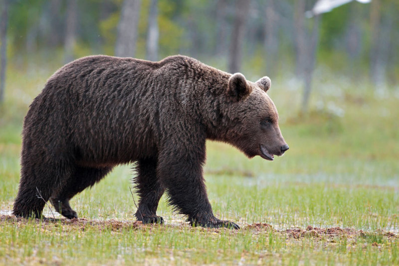 Brown Bears Finland